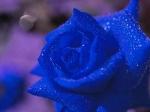 mavi-gul-resimleri-dfdfdf