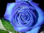mavi-gul-resimleri-fer