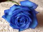 mavi-gul-resimleri
