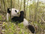 panda-ayi-doga-manzara-beslenme-resim-fd