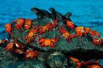 yengec-kertenkele-deniz-kayalik-hayvan-resim-doga-canli1