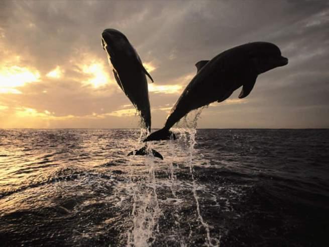 Canlılar 21 yunuslar dans deniz gun batimi manzara doga