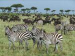 zebra-afrika-suru-vahsi-hayat-doga-manzara-aslan-av